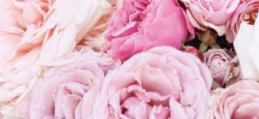 Aqua rosa angelica